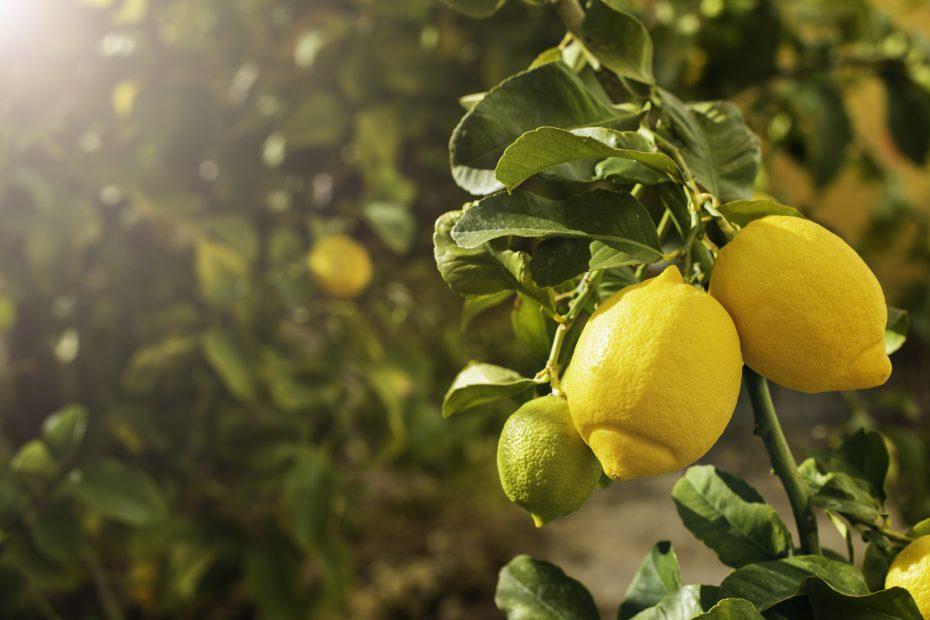 Grüne Blätter am Strauch mit darauf hängenden gelben Zitronen und einer schönen Sonneneinstrahlung.